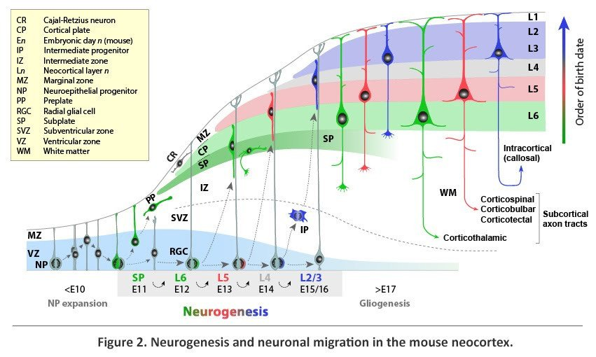Neurogenesis and neuronal migration in the moouse neocortex
