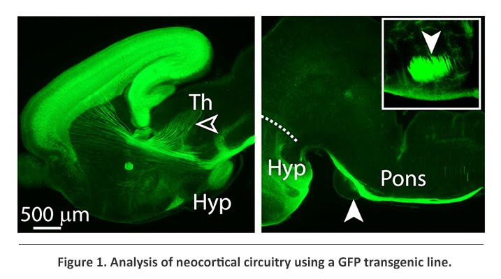 GFP on neocortical circuitry
